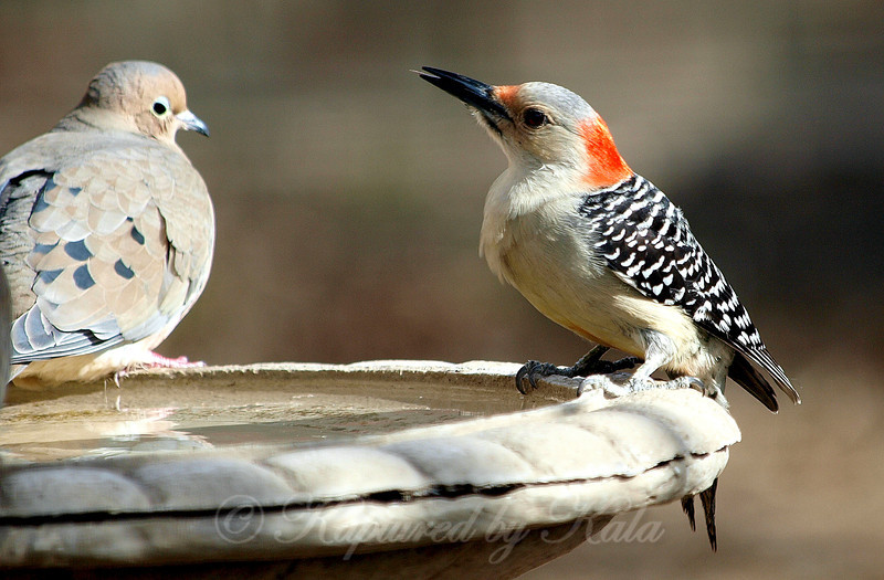 Speaking of Tongues, I Don't Think This Woodpecker Cares Much for That Dove