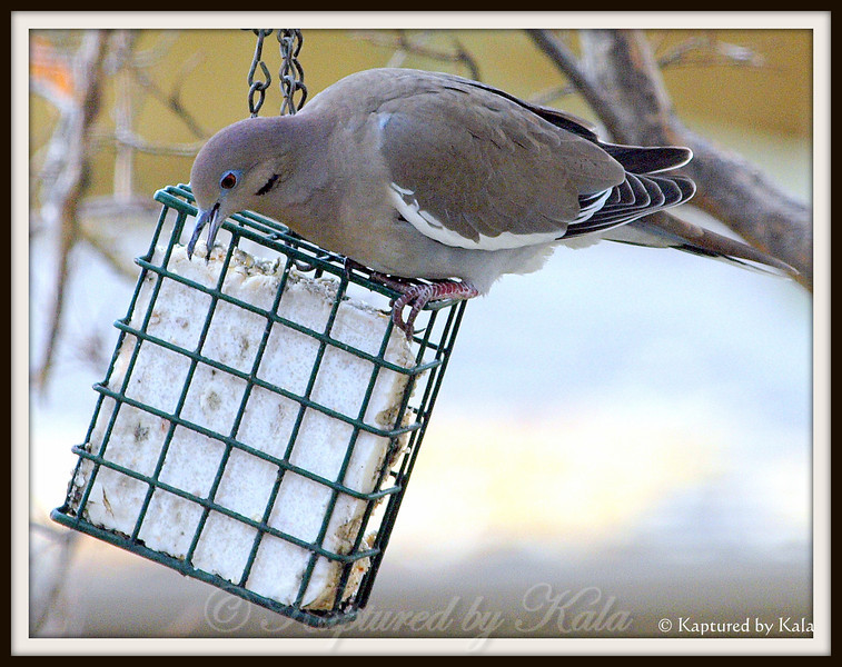 White Wing Doves Are Starting to Eat the Suet Now Too