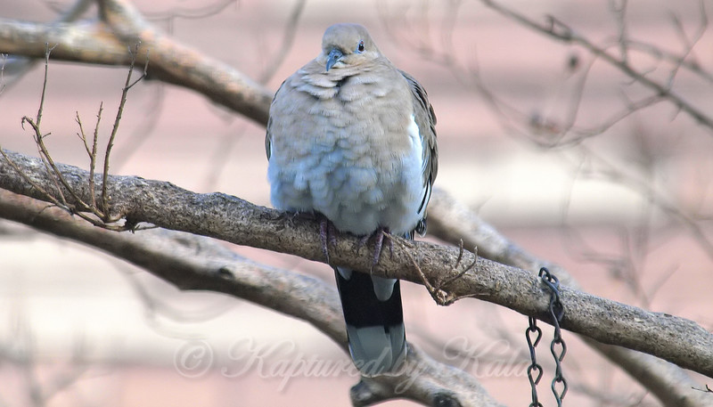 How Doves Stay Warm