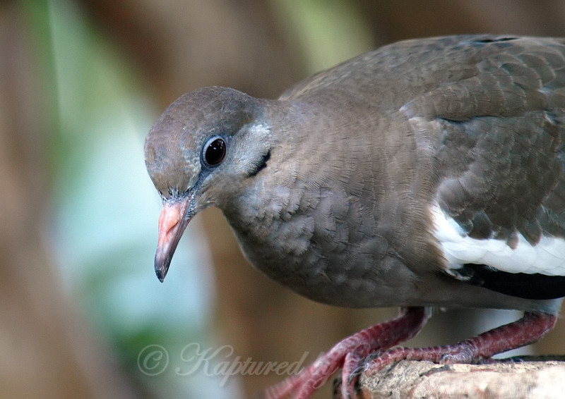 Juvenile White-winged Dove