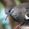 Juvenile White-winged Dove