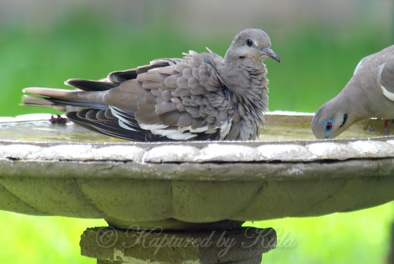 Juvenile vs Adult White-winged Dove