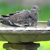 Juvenile vs Adult White-winged Dove