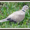 Eurasian Collared Dove Eating Corn