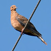 Juvenile Mourning Dove Checking Me Out