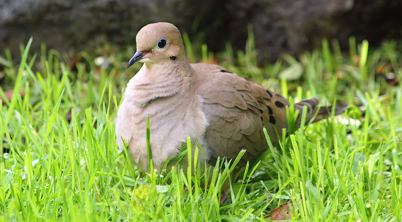 Well Fed Dove