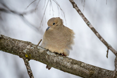 Cold Winter Mourning  Dove