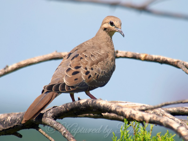 Pretty Little Juvenile Mourning Dove