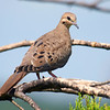 Pretty Little Juvenile Mourning Dove