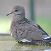 Fluffy Dove
