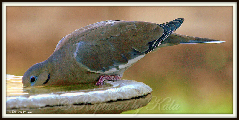 There is Nothing Graceful or Delicate About the Way a Dove Drinks