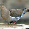 White Wing Dove with Deformed Beak, Does Not Slow it Down Any