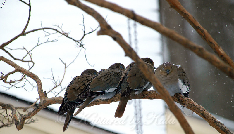 White Wing Doves Huddling Together in a Snow Storm