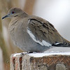 White-winged Dove In The Falling Snow