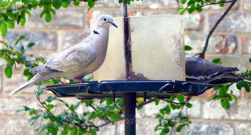 Collared Dove At My Feeder
