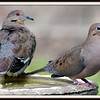 How to Tell a White Wing Dove From a Mourning Dove
