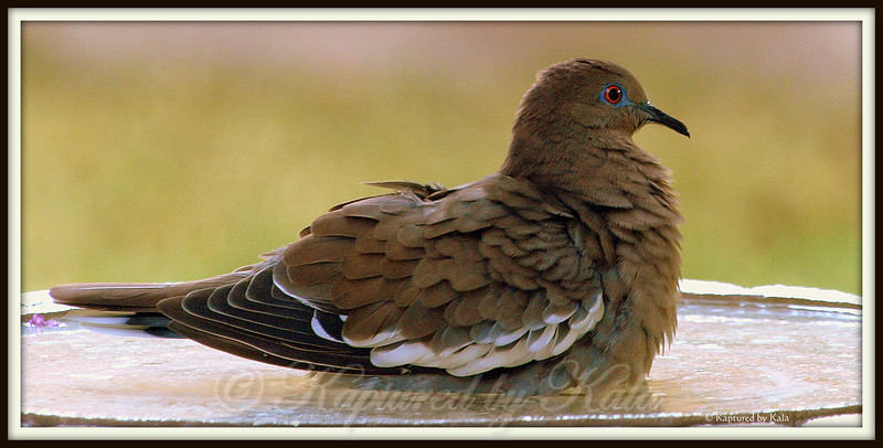 White Wing Dove Soaking in Birdbath on a Hot Day