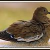 White Wing Dove Soaking in Birdbath on a Hot Day