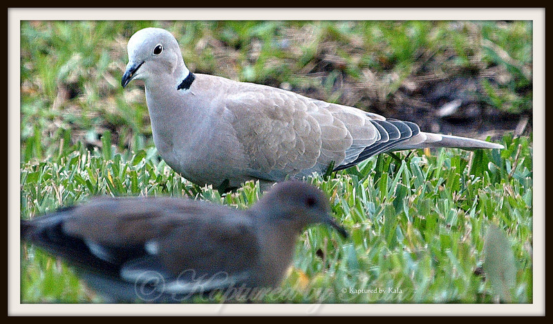 Comparing the Size of a Eurasian Collared Dove to a White Wing Dove