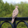 Juvenile Mourning Dove