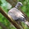 Eurasian Collared Dove in my Crepe Myrtle