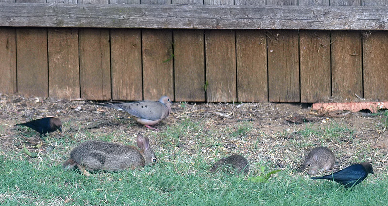 A Mourning Dove Joins The Buffet
