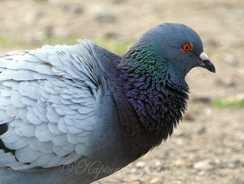Close-Up of One of the Feral Pigeons of White Rock Lake