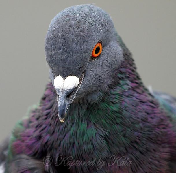 Portrait Of A Rock Dove