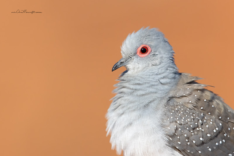 Spotted Dove, Spilopelia chinensis