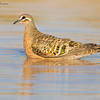 Common Bronzewing, Phaps chalcoptera