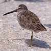Short-billed Dowitcher on Ft Myers Beach