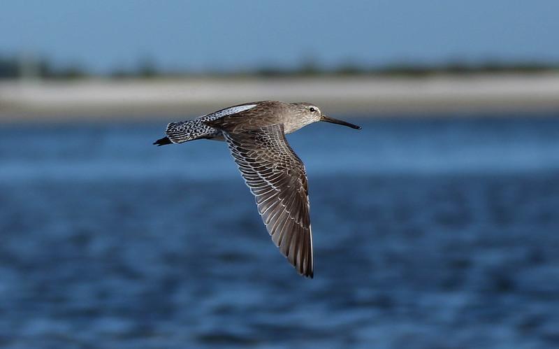 Short-billed Dowitcher flying