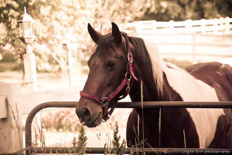 Stormy - our spotted saddle horse