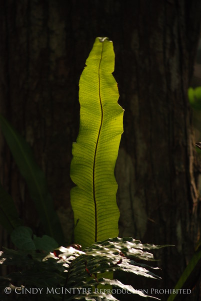 Fern leaf, Corkscrew Swamp FL (2)