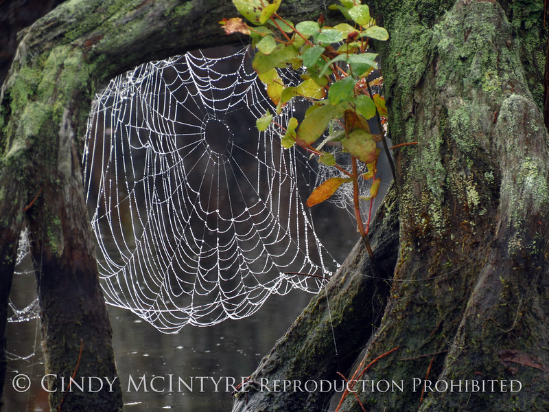Spider Web, Banks Lake NWR, GA (14)