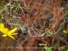 Spiderweb, tickseed sunflower, Banks Lake NWR GA