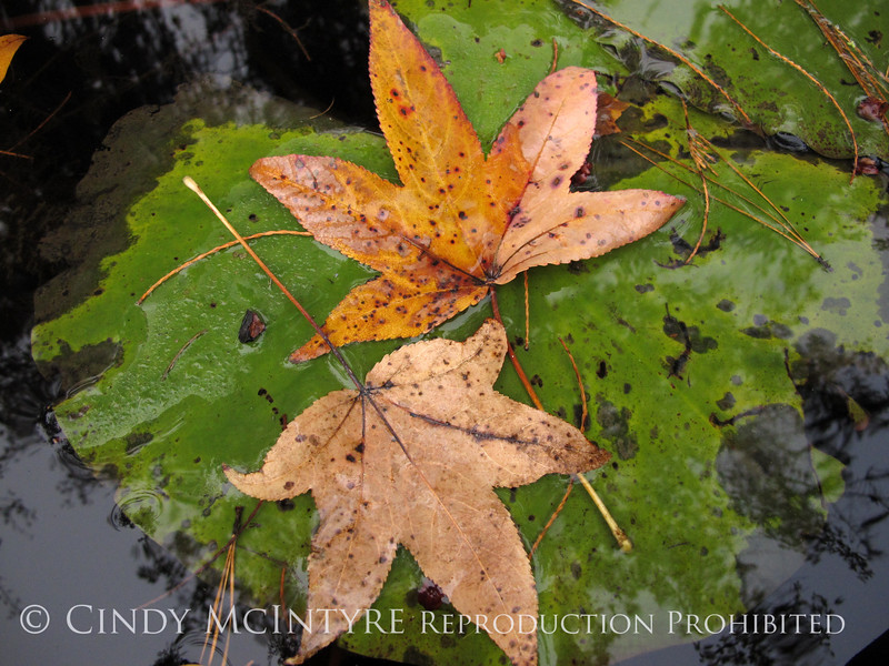 Sweet gum and water lily, Banks Lake NWR GA (1)
