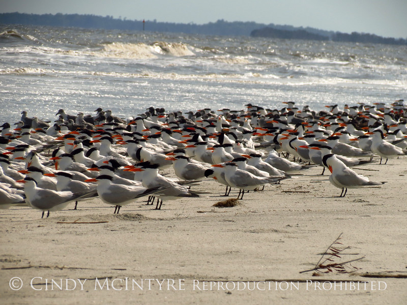 Royal Terns, Jekyll IS GA (1)