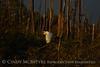 Great Egret, last light, ONWR (10)