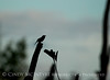 Carolina wren singing, Oke boardwalk