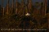 Great Egret, last light, ONWR (9)