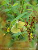 Cloudless sulphur female, ONWR (1)