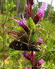 Green Lynx Spider catches Long-tailed skipper on blazing star, ONWR (6)