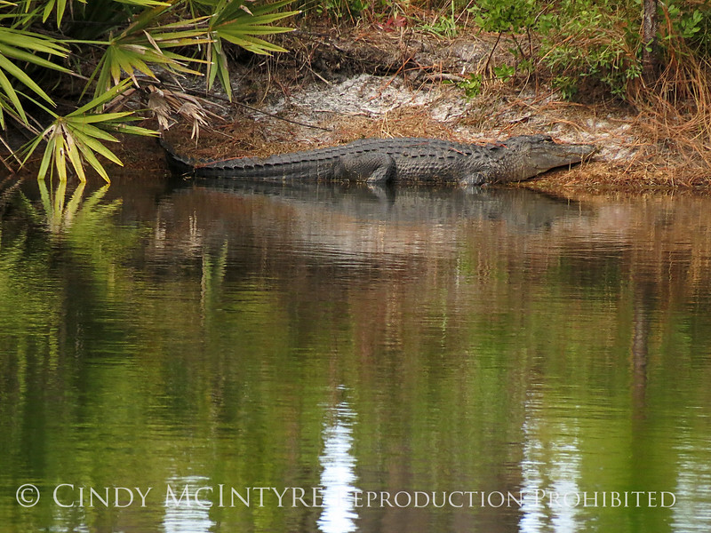 Okefenokee NWR GA, Alligator by pond