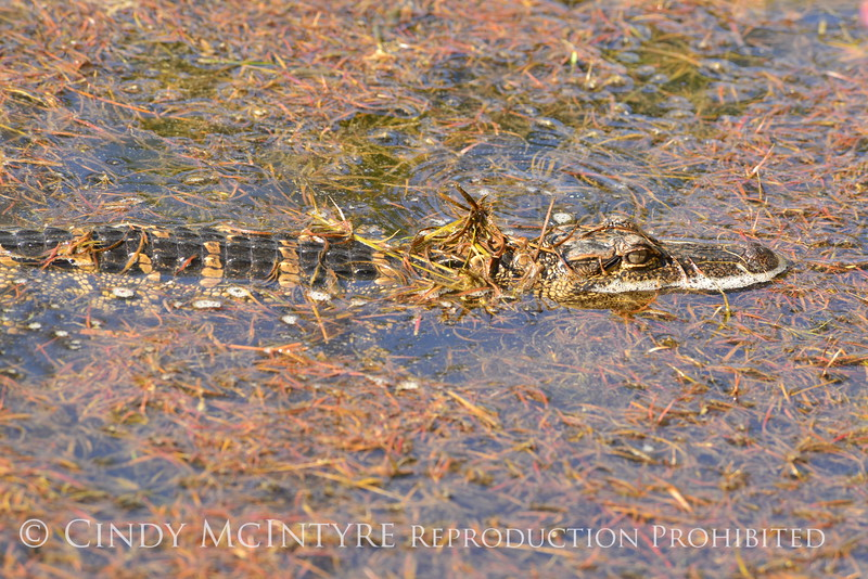18-month old baby gator, ONWR (1)