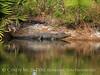 Okefenokee NWR GA, Alligator by pond