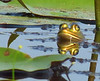 Pig Frogs, ONWR (2)