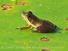 Cricket frog, summer, ONWR