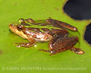 Cricket Frog, ONWR (1)