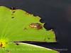 Cricket Frog, ONWR (2)